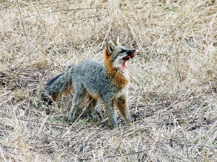 rabid gray fox