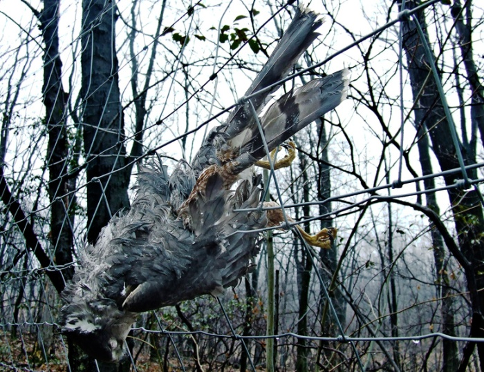 dead sharp-shinned hawk on a deer fence