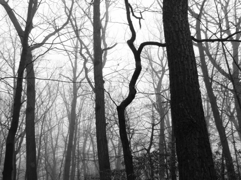 bent sassafras tree