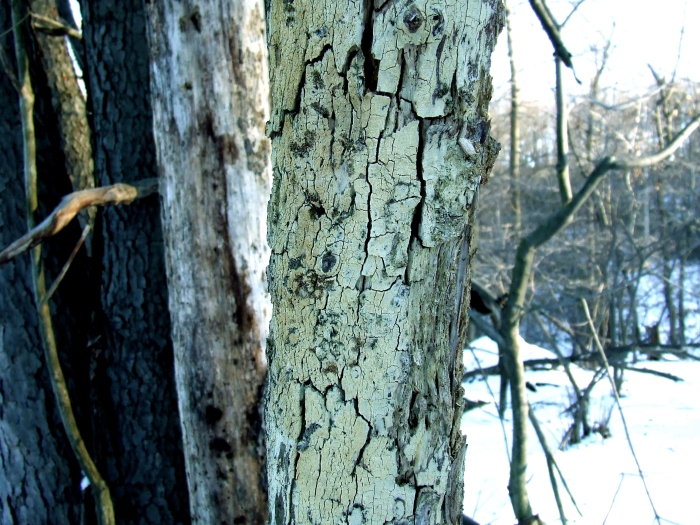 cracks in a dead black locust tree
