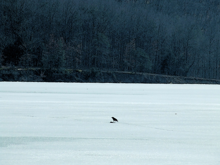 Crow with a piece of carrion in the middle of a frozen lake