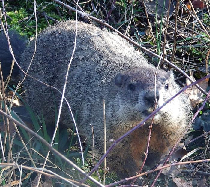 groundhog among black raspberry canes