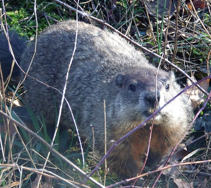 groundhog among black raspberry canes