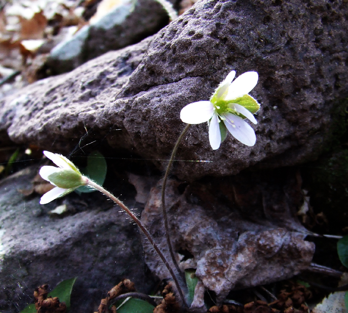 round-leaved hepatica with sandstone