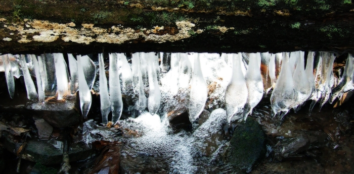icicles dangling from an old oak log across the stream