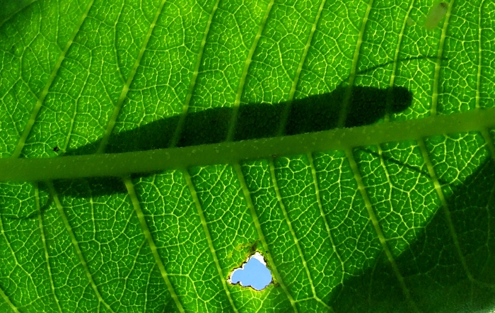 silhouette of a monarch caterpillar on a milkweed leaf