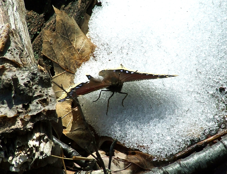 mourning cloak butterfly on snow