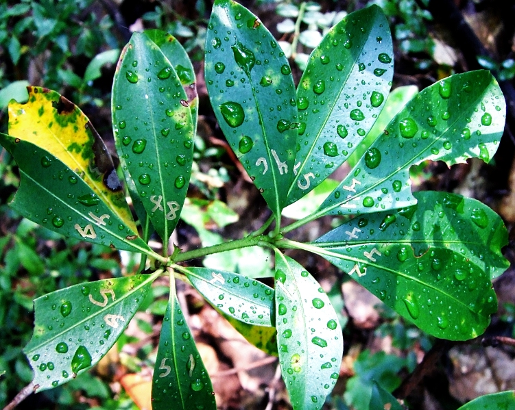 numbered leaves of a mountain laurel