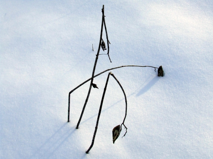 milkweed stalks against the snow