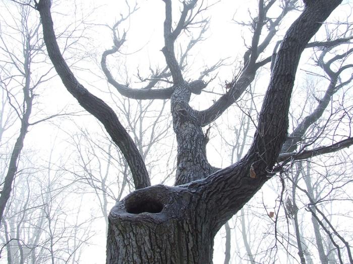 porcupine tree (Quercus prinus)