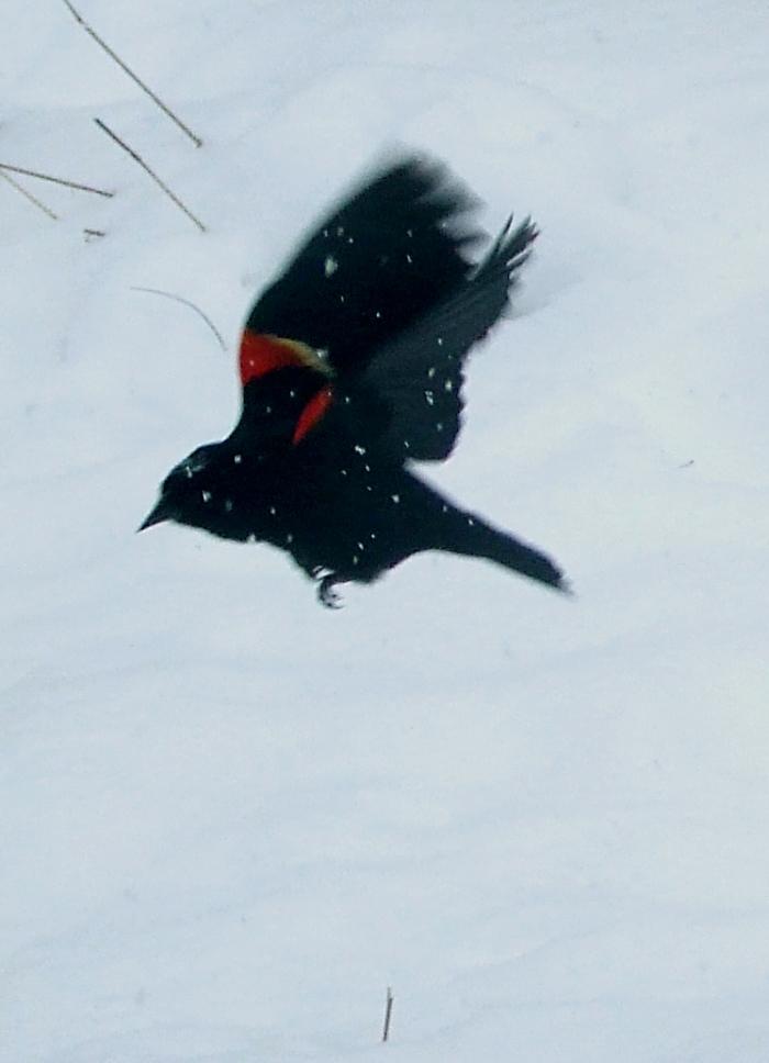 red-winged blackbird in snowstorm