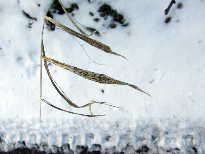 roadside grass against the snow
