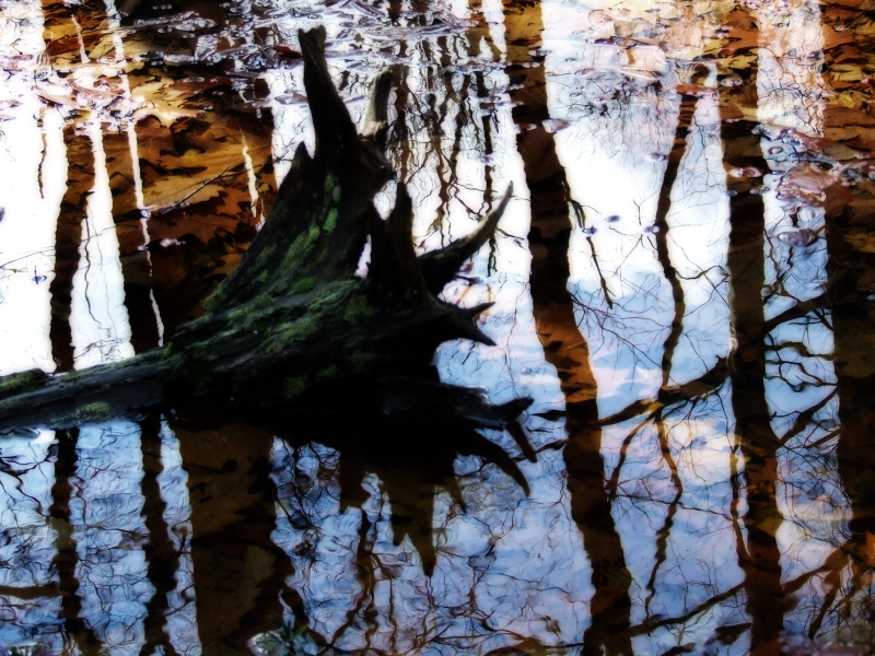 rootball in a vernal pond