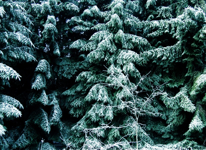 Norway spruce grove in winter