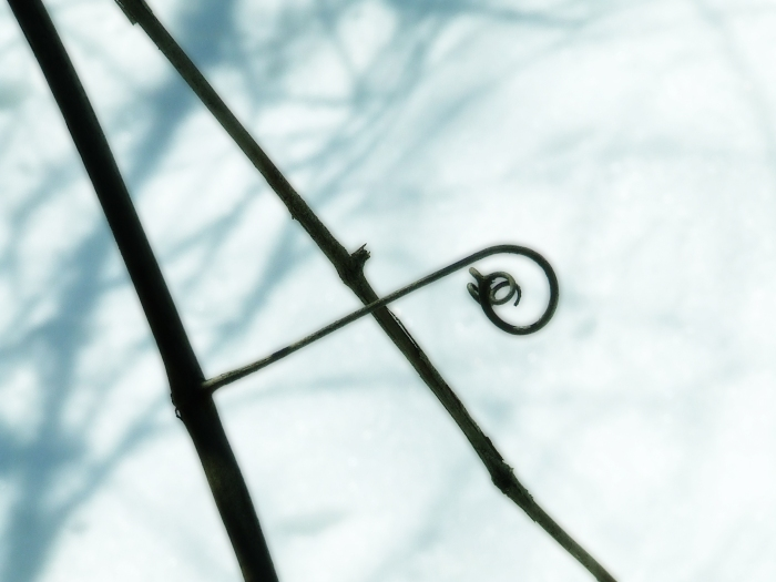 dead tendril of a wild grapevine against the snow