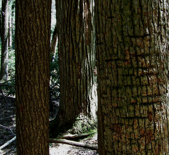 old-growth hemlock forest
