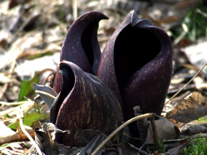 skunk cabbage mafia