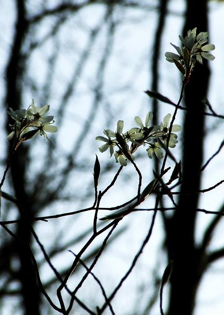 shadbush or serviceberry
