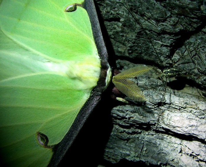 luna moth with harvestman