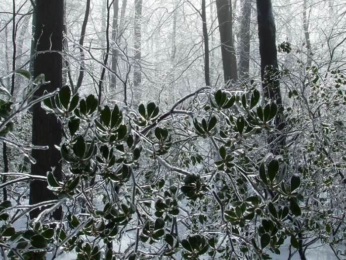 mountain laurel in ice