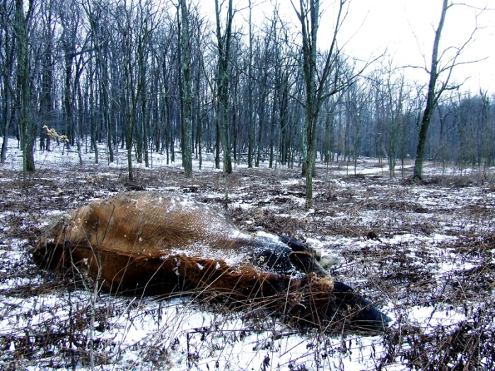dead cow landscape