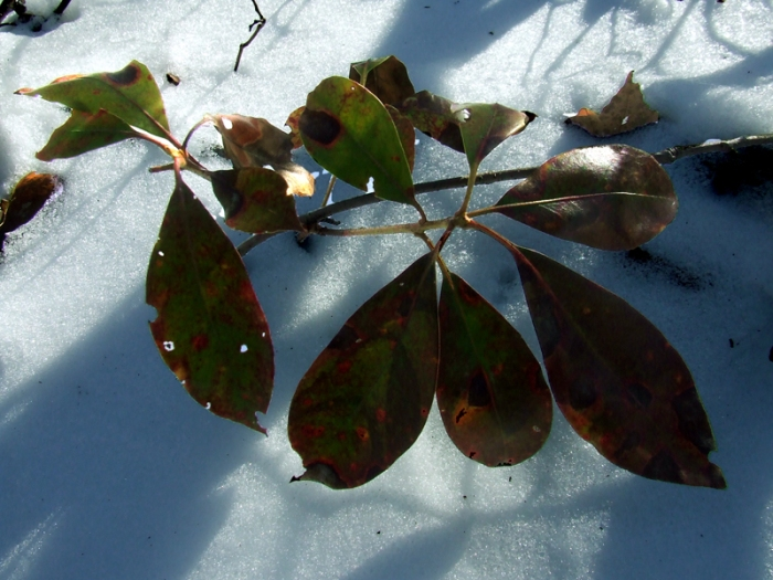 diseased laurel leaves against the snow