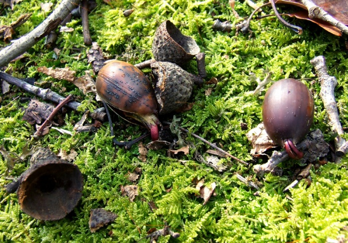 sprouting chestnut oak acorns