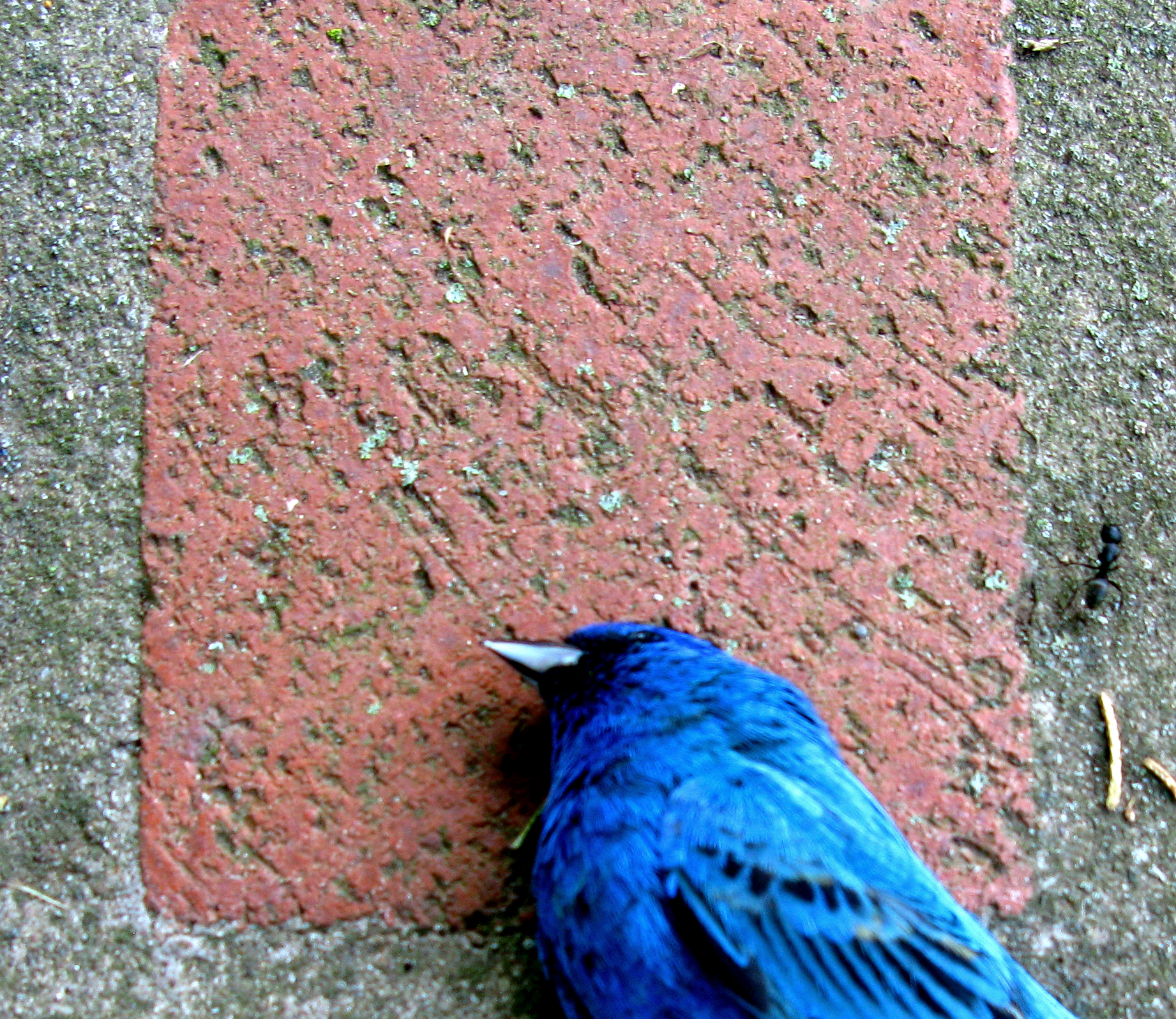 brick with dead indigo bunting approached by an ant