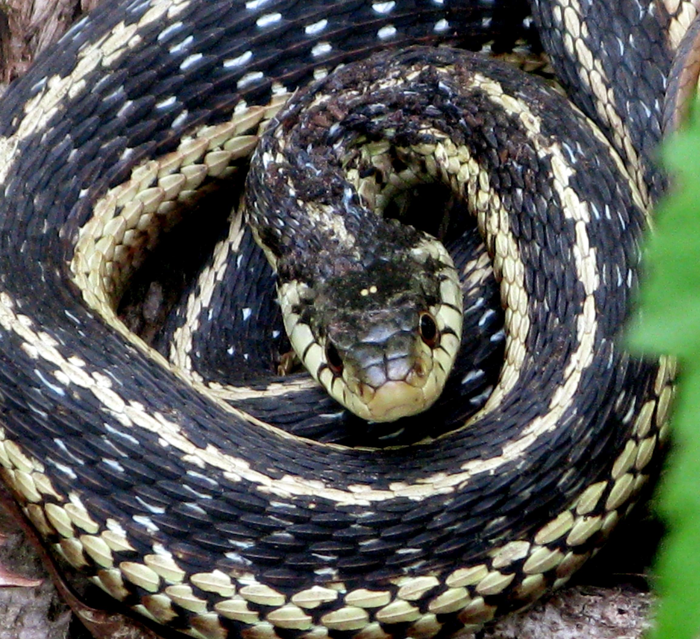 coiled garter snake