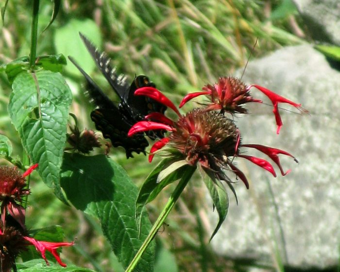 spicebush swallowtail on beebalm
