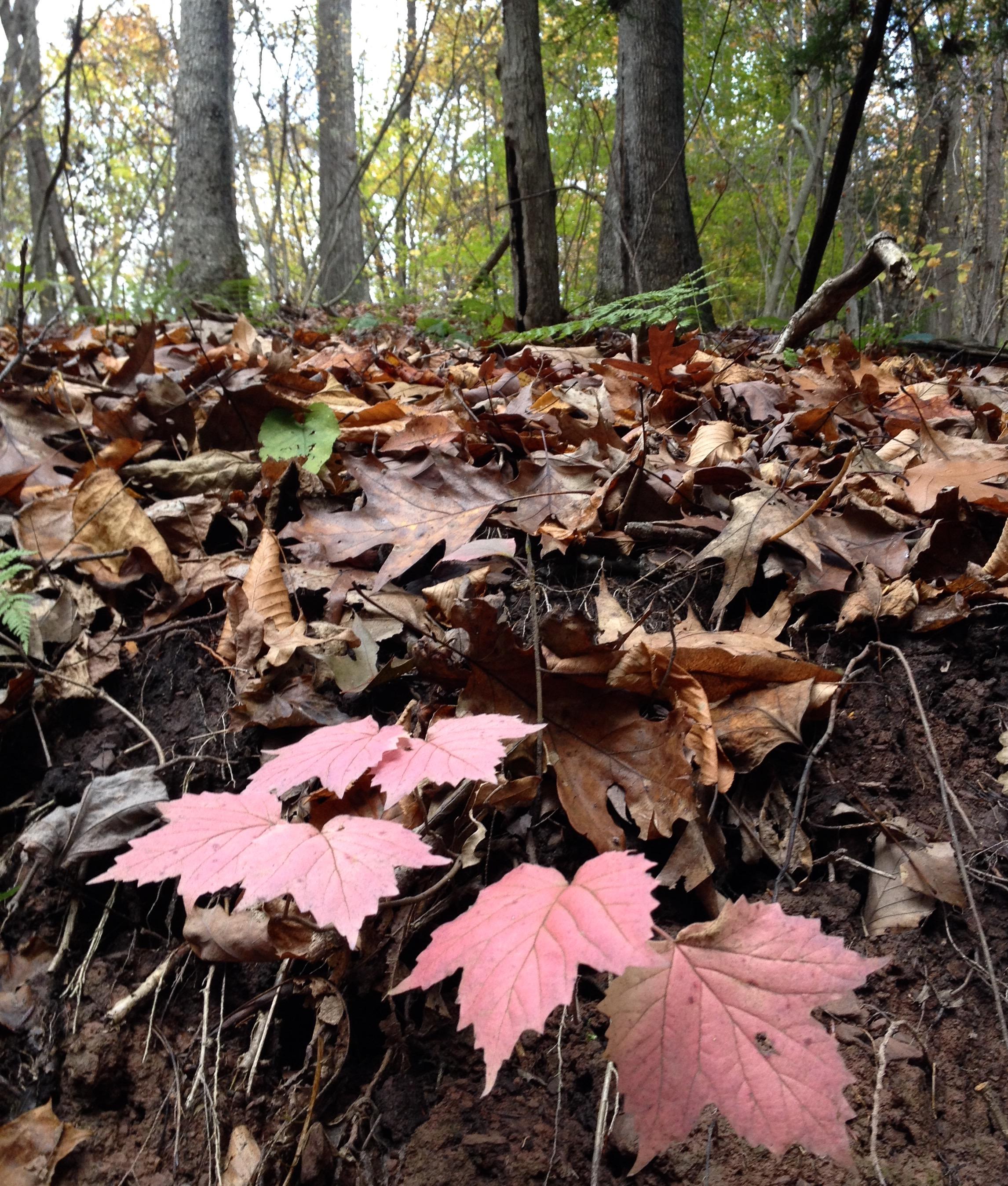 maple-leaf viburnum leaves on a steep bank in the woods