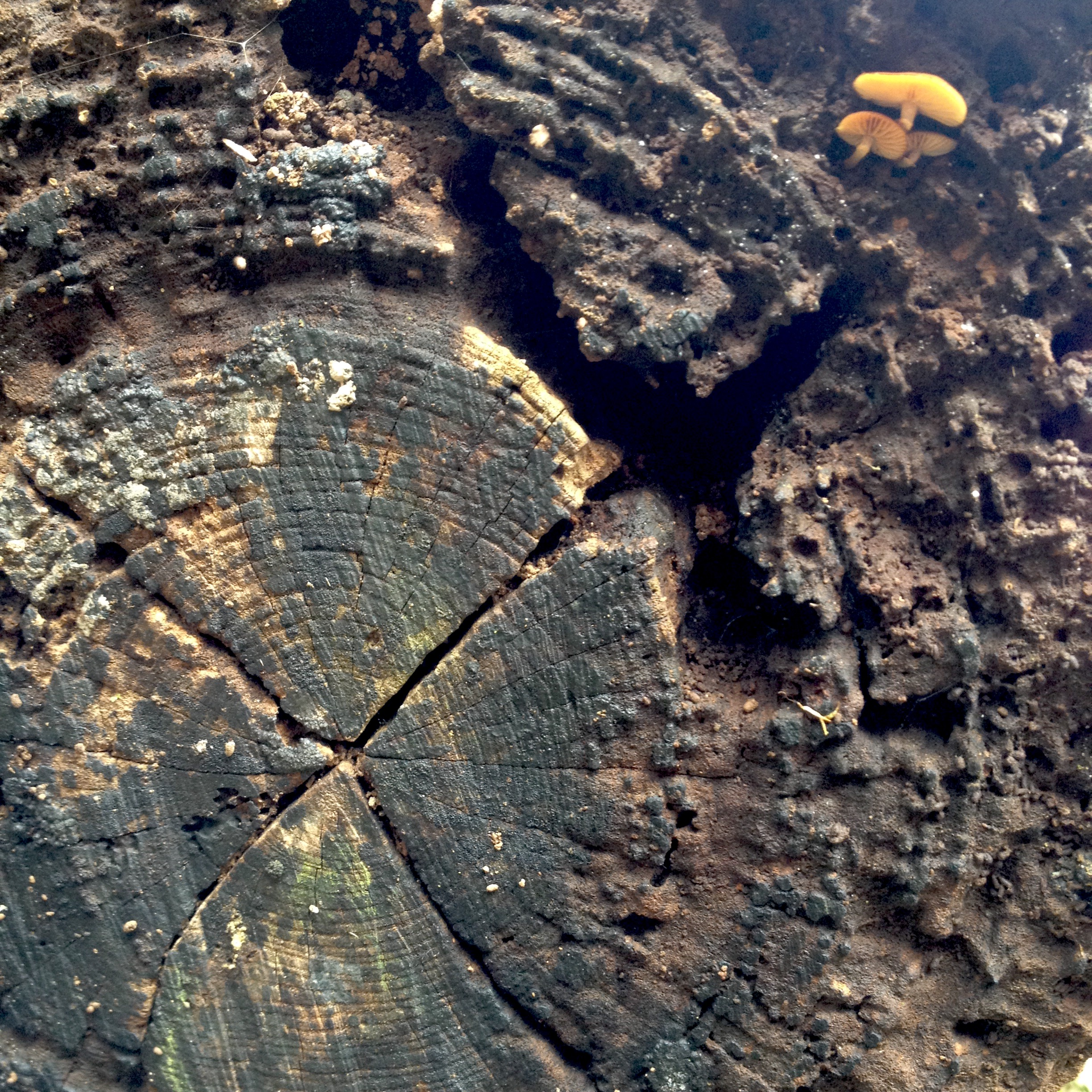 highly worn and pitted end of a log with a small orange mushroom growing out of it and a split in the shape of an X