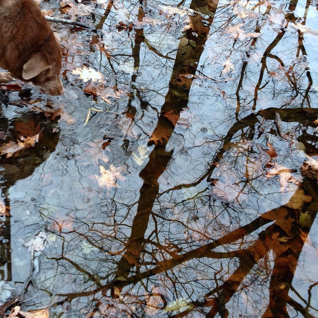 A dog laps at a forest pool with the reflections of bare trees and sky and leaves visible on the shallow bottom.