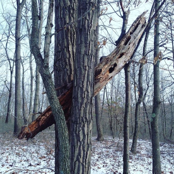 A section of dead tree held up by several living trees.