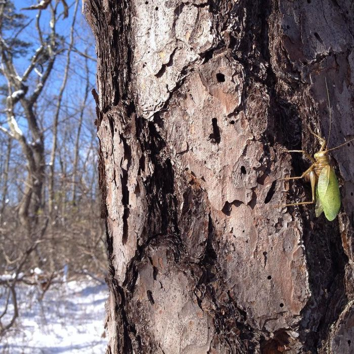 A green, leaf-shaped katydid frozen into a life-like position on the bark of a pine tree in a snowy woods.