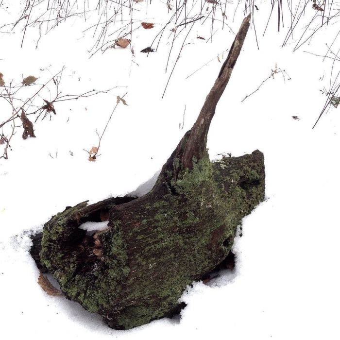 Lichen-covered section of an old log with a sail- or fin-like projection, surrounded by snow.