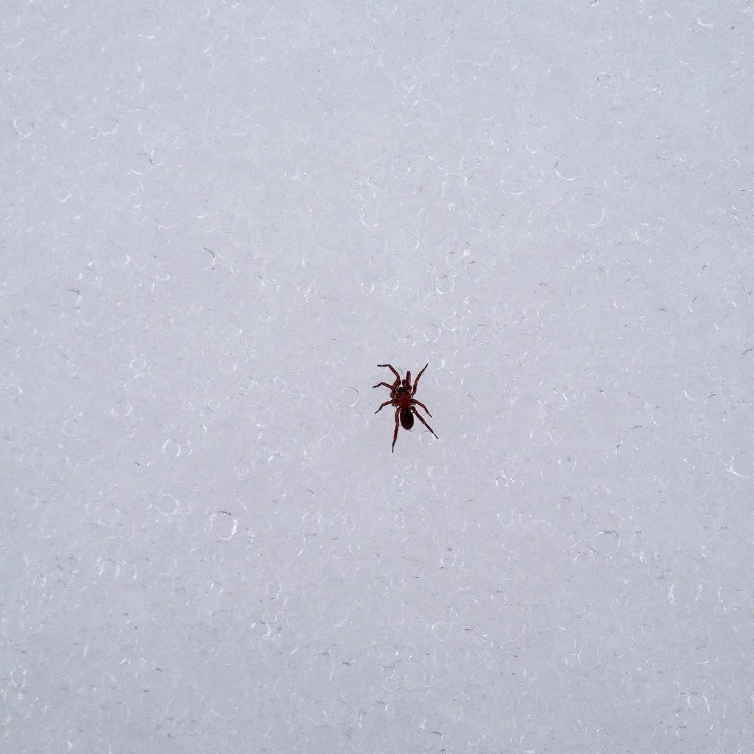 Close-up a tiny spider walking across a granular snowpack.