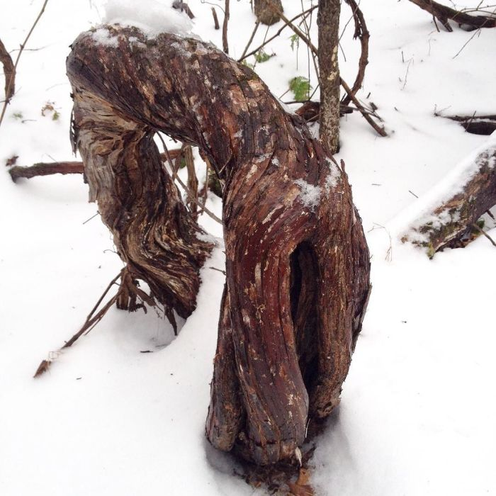 A big loop of very old wild grapevine emerging from the snow and diving back under.