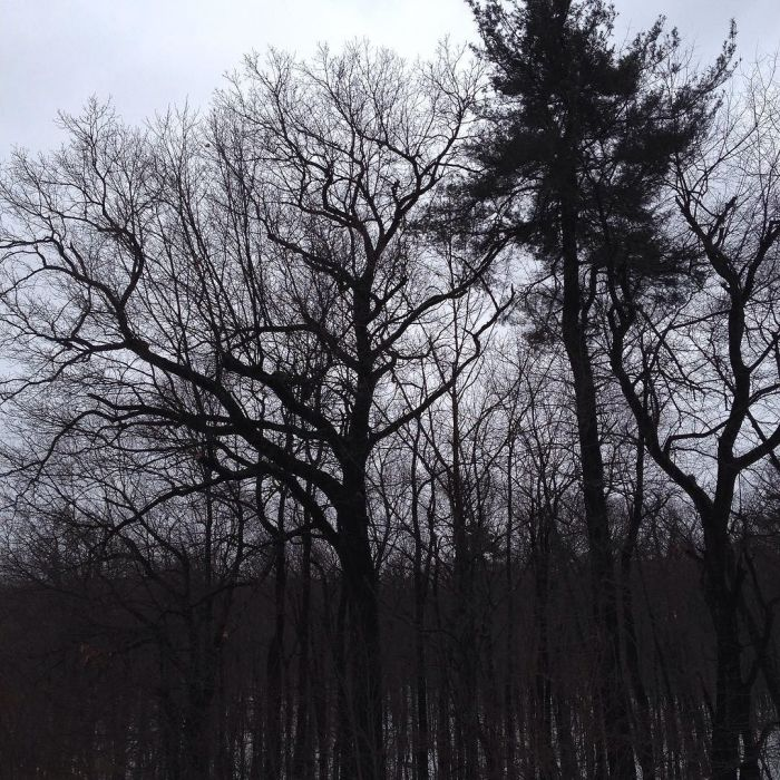 The bare crowns of oaks silhouetted against the sky.