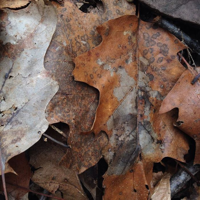 Oak leaves on the forest floor with edges bearing a fanciful resemblance to human faces in profile.