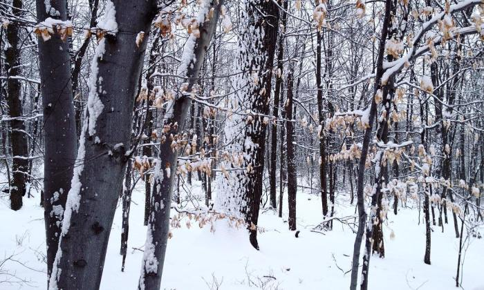 Beech trees in the snow, still hanging on to their dried and faded leaves.