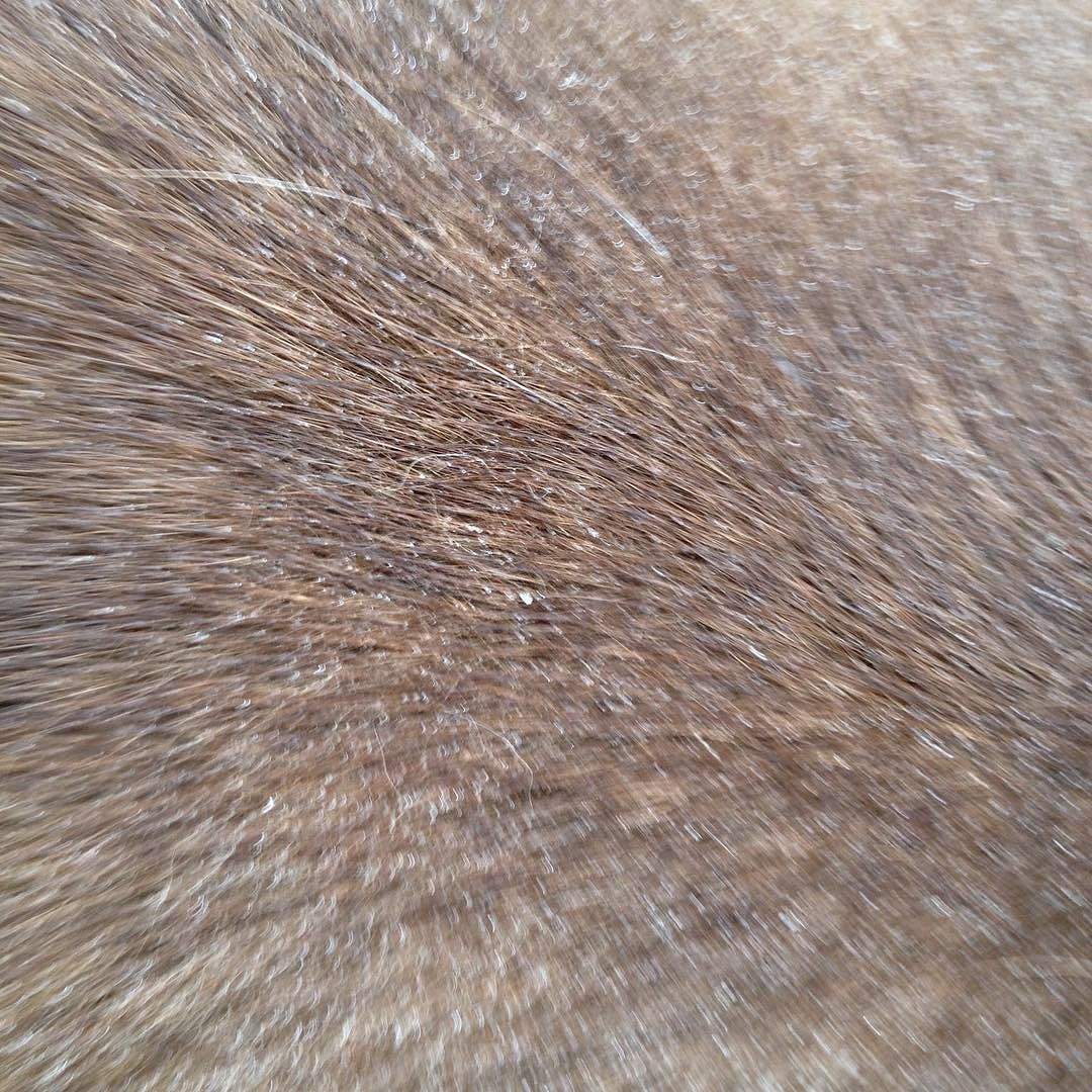 Close-up of brown fur beaded with moisture and blurry with motion.