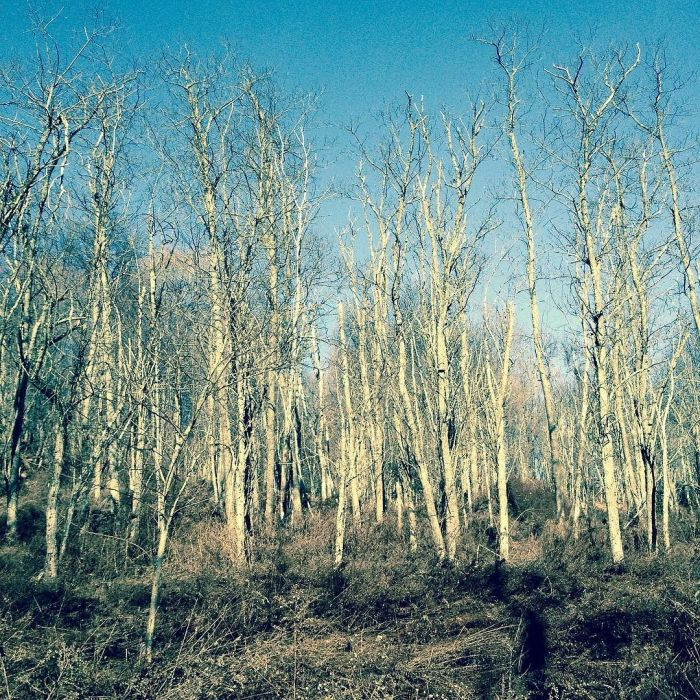 A crowd of young, helf-broken-looking black locust trees lit up against the sky.