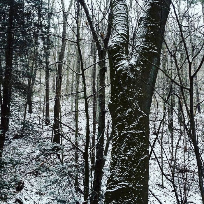 The wrinkled trunk of an old beech sprinkled with snow.