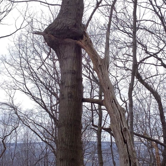 A living tree has grown around and partially absorbed the limb of a dead tree leaning against it.