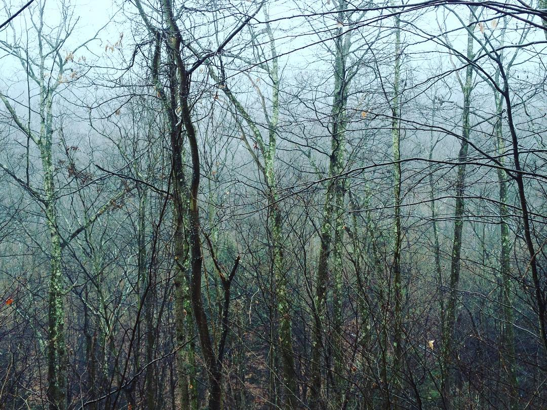 Treetops green with lichen in a foggy forest.