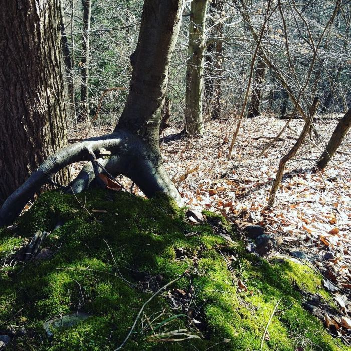 A black birch standing up on three roots atop a moss-covered mound in the woods.