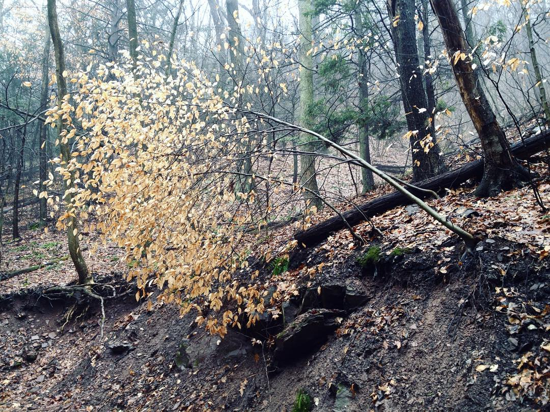 A young beech tree, still clinging to its leaves in winter, has half-fallen over at the top of a muddy bank.