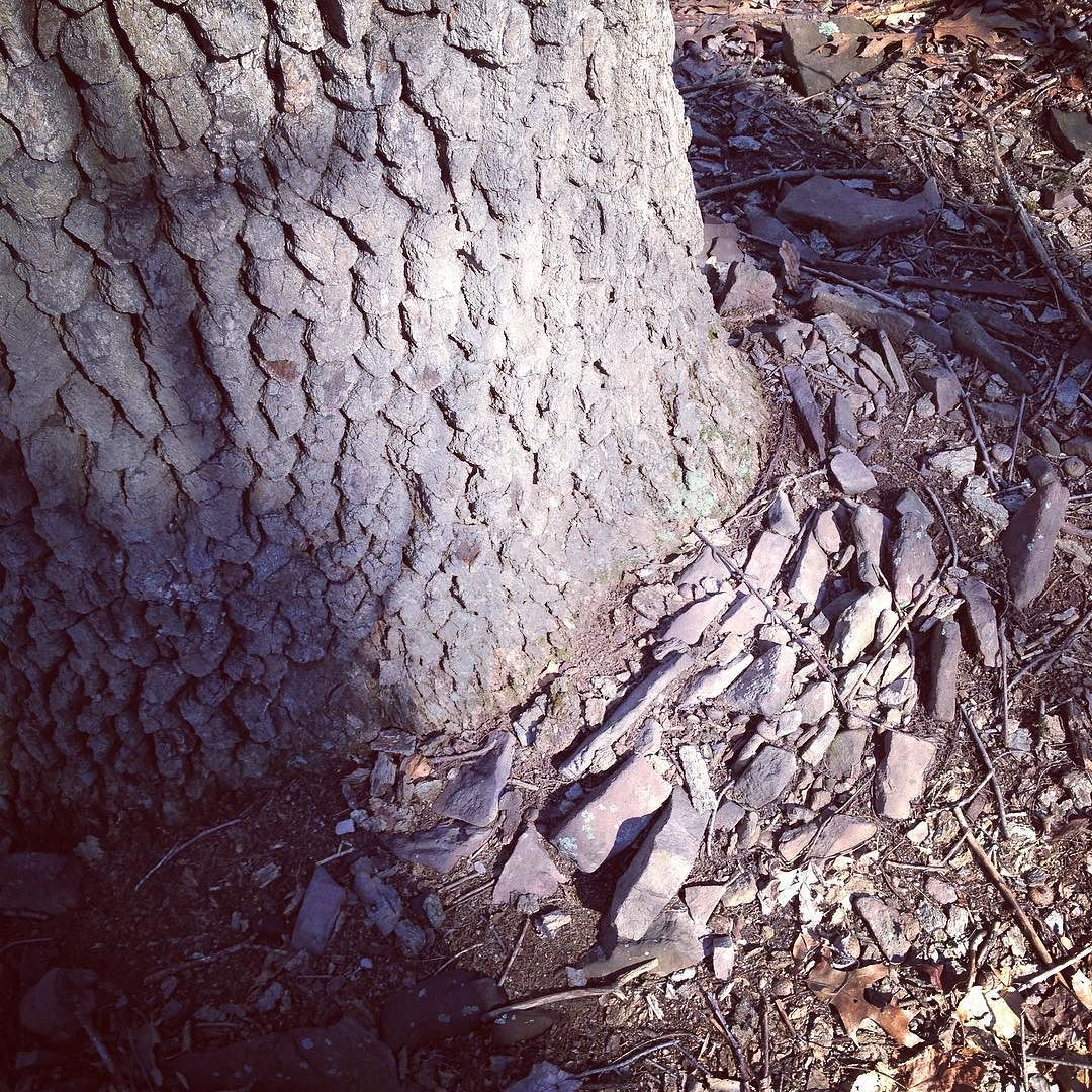 Base of the trunk of a large black gum tree which has pushed up a ring of flat sandstone rocks as it's grown.