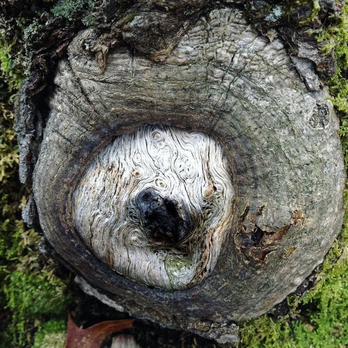 An old branch scar at the base of a tree, partially healed over with a center of pale wood filled with fantastic arabesques.